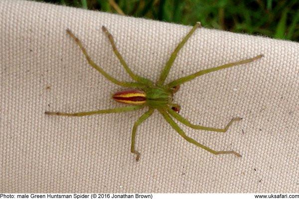 Isane huntämblik, pildi allikas: http://www.uksafari.com/green_huntsman_spiders.htm