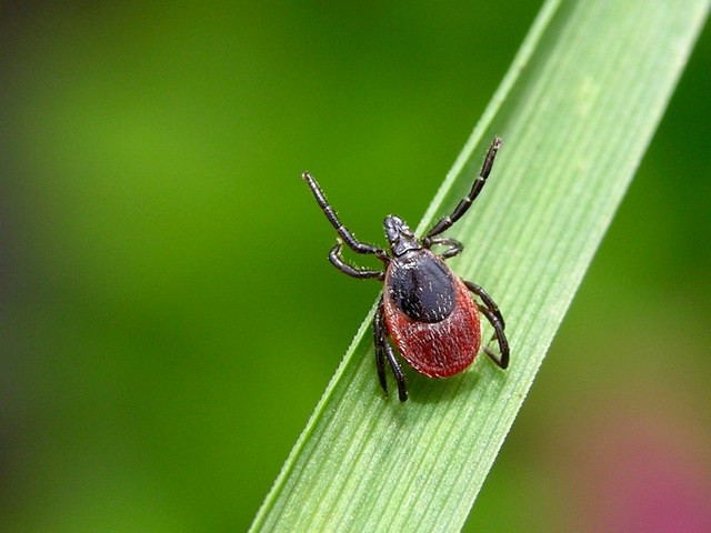 Ixodes ricinus. Allikas: https://scifundchallenge.org/ecotome/2015/01/30/what-is-causing-eastern-blacklegged-tick-range-expansion/