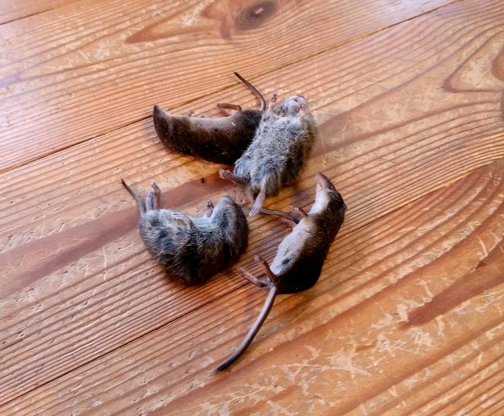 Sassi ja Pontsu värske hiiresaak. Sass toob pika ninaga karihiiri ja Pontsu lühikese ninaga hiiri.