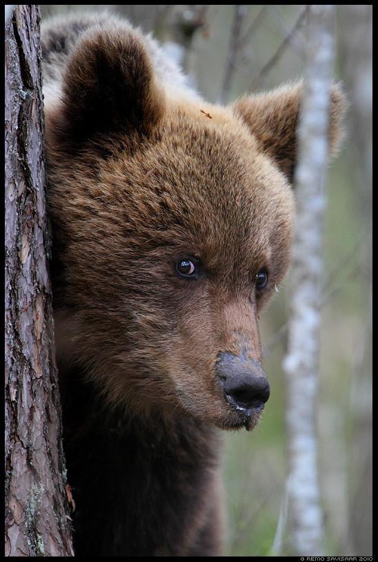 Pildi autor: Remo Savisaar, allikas: http://blog.moment.ee/2014/04/pruunkaru-brown-bear-ursus-arctos-6.html