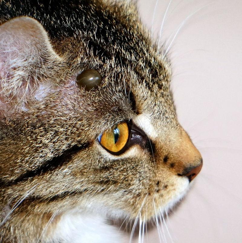 Puuk kassi küljes, allikas: https://et.wikipedia.org/wiki/Lemmikloomade_parasiidid#/media/File:Kleszcz..jpg