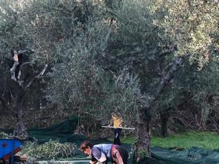 Skörden av Koroneiki-olje oliver 2018