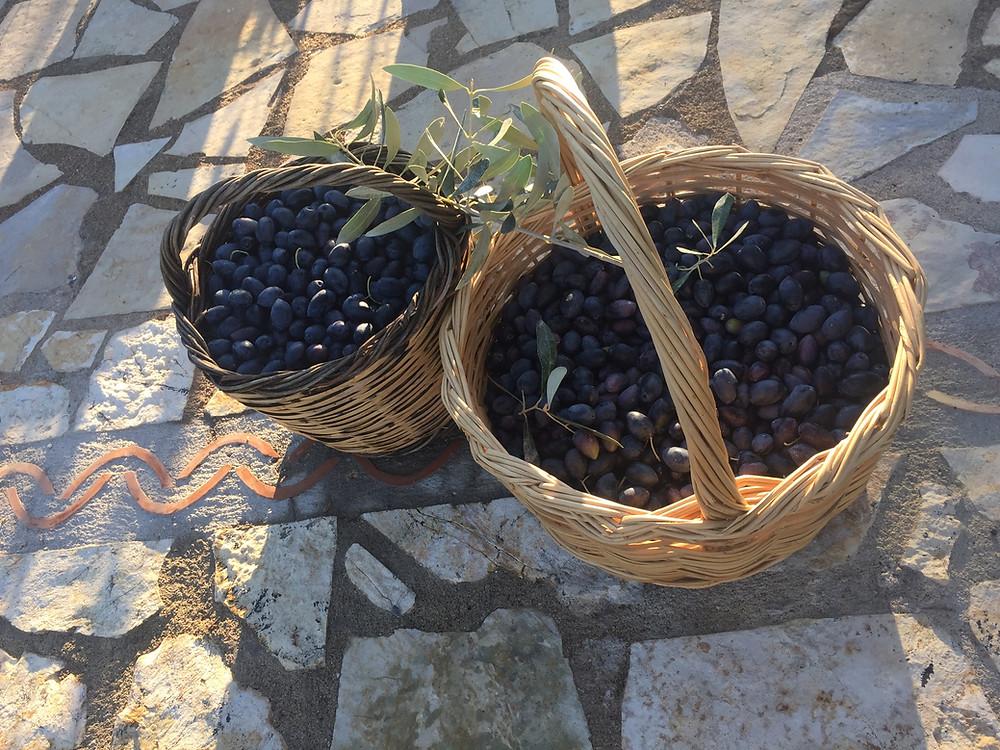 Aldrig tidigare har vi skördat bordsoliver så tidigt som näst sista veckan i september. Dock blev skörden ganska liten jämfört med året innan. men så fina oliver!