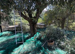 Olivskörden Kalamon,bordsoliver.