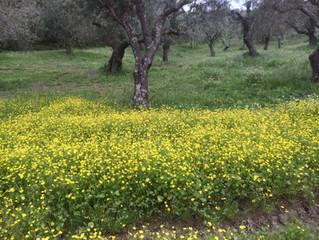Underbara vårtider i olivlundarna