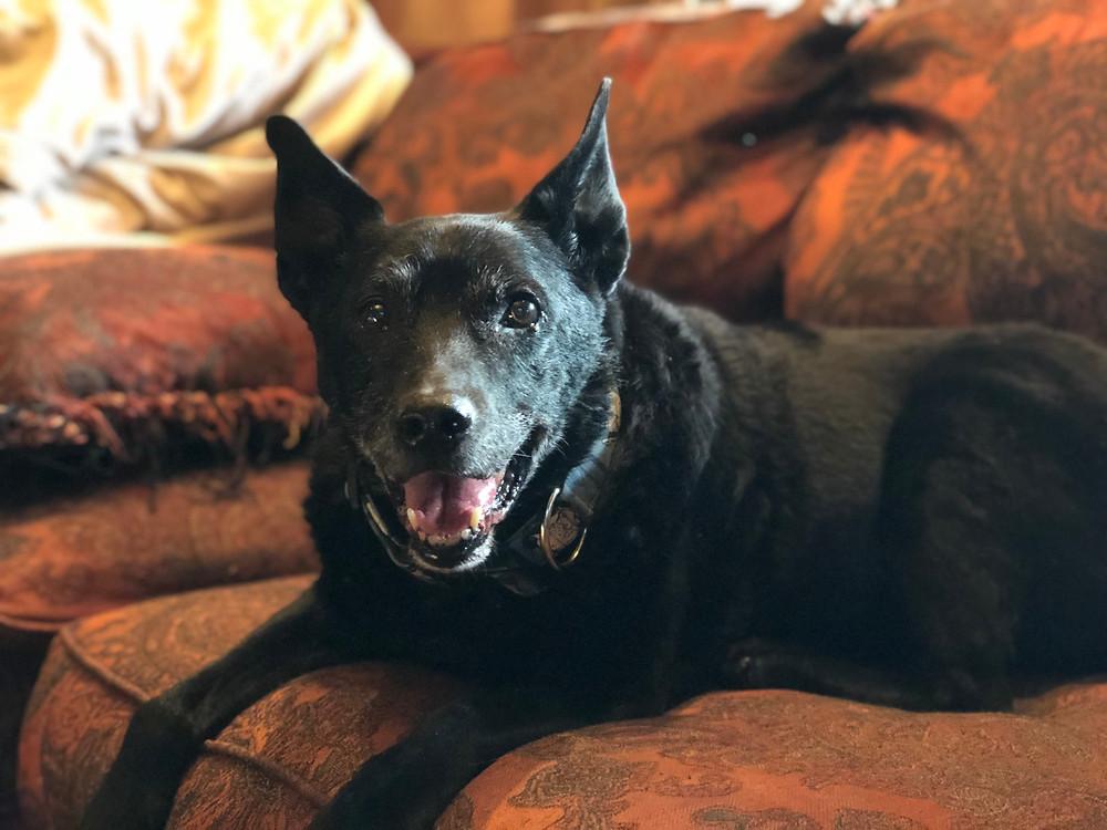 knead animal massage, senior, dog, portland