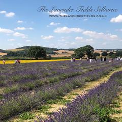 Lavender Fields, Selborne, Hampshire July 2018