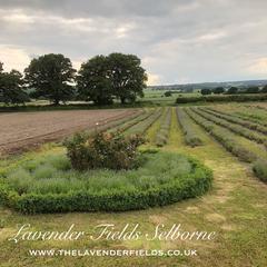 Lavender Fields Selborne, Hampshire June 2018