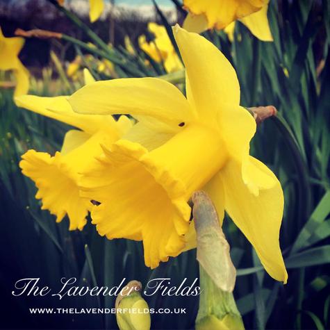 Spring at Lavender Fields, Selborne, Hampsire 2018