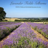 Lavender Fields, Selborne, Hampshire Summer 2018