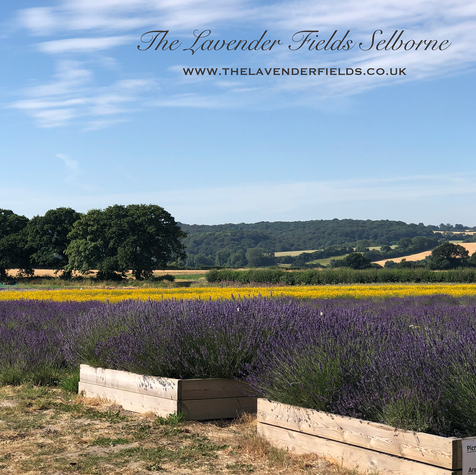 Lavender Fields Selborne, Hampshire Summer 2018