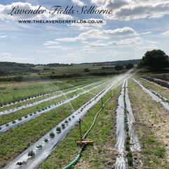 Lavender irrigation. Selborne, Hampshire 2018