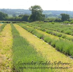 Lavender Fields, Selborne, Hampshire June 2018