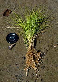 Salt Meadow Hay