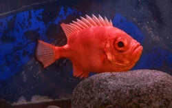 Nocturnal Short Bigeye Fish