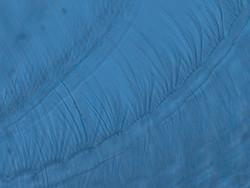 Barnacle Larvae Cirri