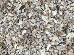 Slipper Limpet Shells
