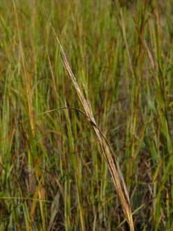 Smooth cordgrass