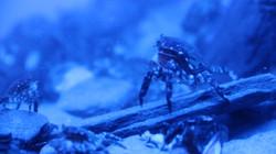 Pacific Shore Crab