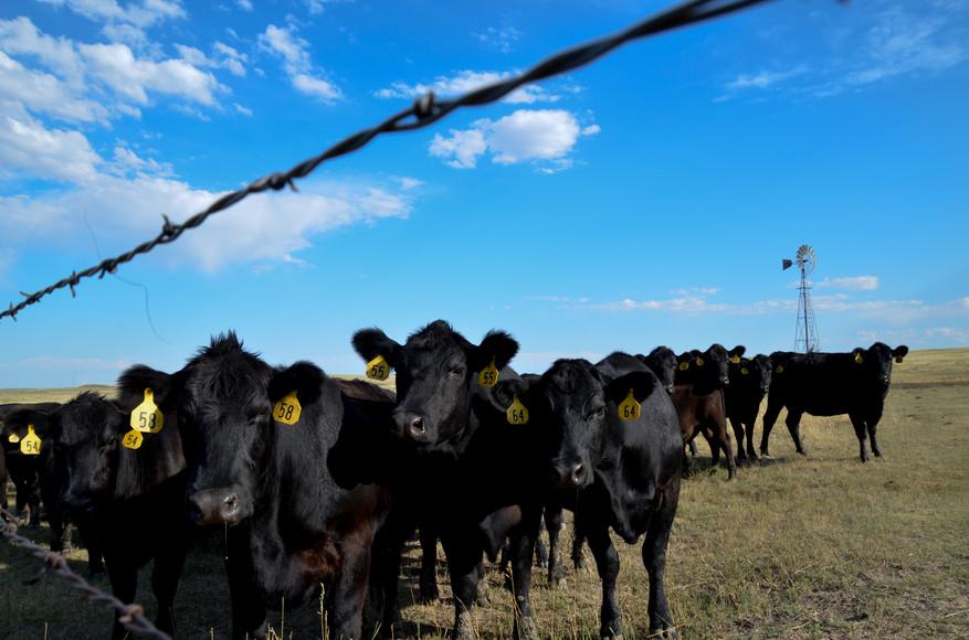 Cows of Nebraska