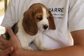 Shearbliss Beagles Puppy