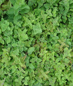 Origanum vulgare. .jpg