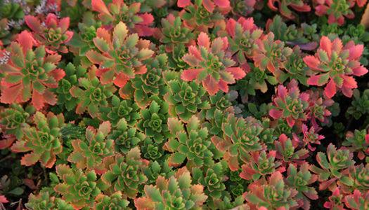 Sedum-hybridum-Immergrunchen-2-c-Green-R