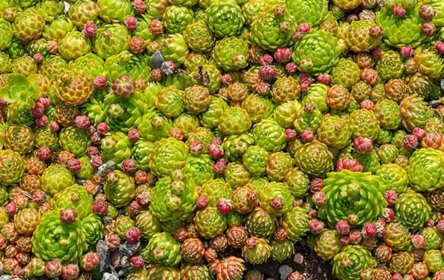 Sedum-How-to-Grow-Care-For-Ice-Plants-an