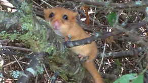 A12 dormouse habitat improvements