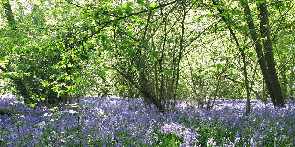 Highwoods Bluebell Walk