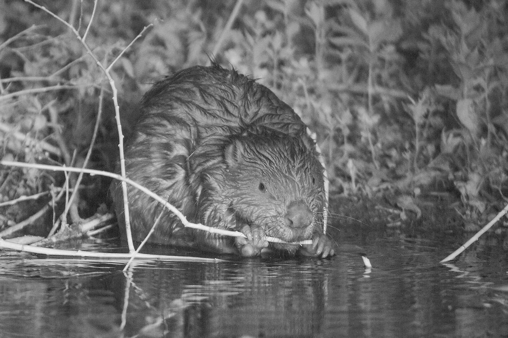 Eurasian beaver feeding in Essex