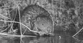 Beavers return to Essex after 700 years