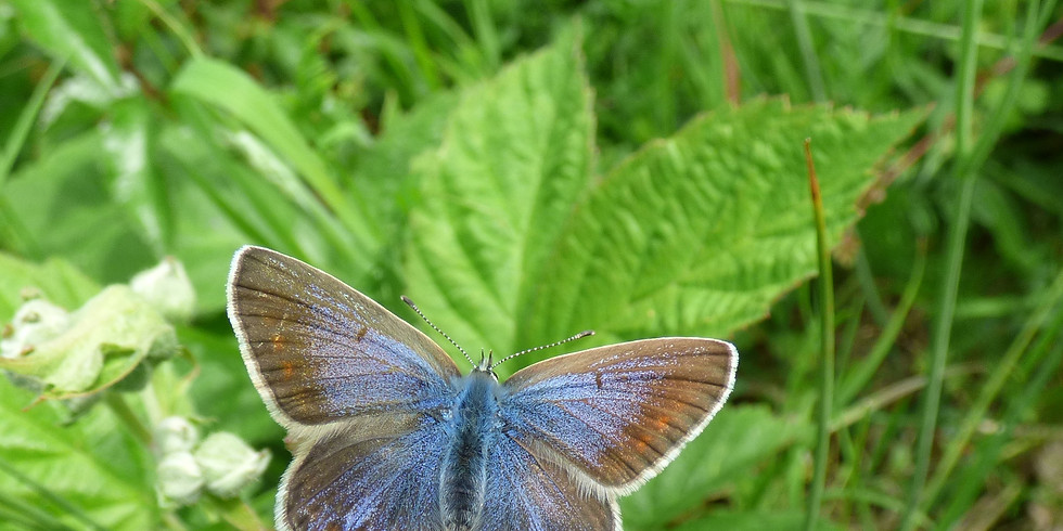 WALK - Hilly Fields Local Nature Reserve Summer Insects and Butterflies