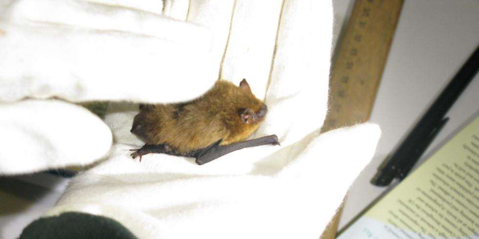 Bats of Essex talk