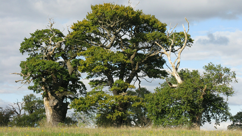 Veteran Trees_Darren Tansley (2).jpg