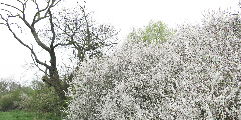 WALK - Spring wildlife of Hazeleigh Wood (£2)