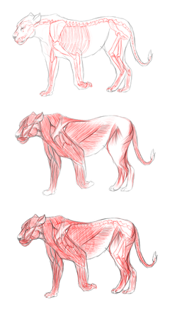 Lion anatomy.png