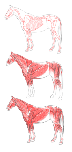 Horse anatomy.png