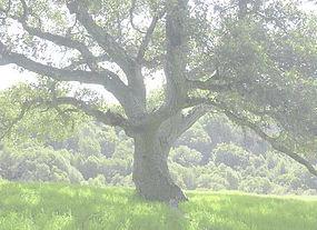 Oak copy.jpg