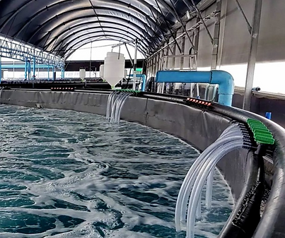 RAS aquaculture tanks