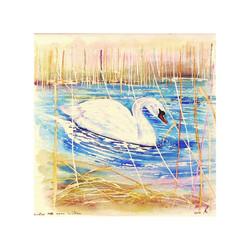 Winter Mute Swan, Wicken Fen