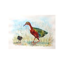 Aldabra Rail with Chick