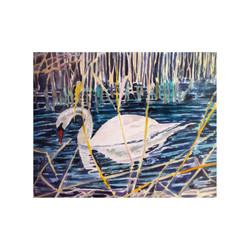 Mute Swan at Wicken