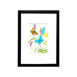 Adonis Butterflies