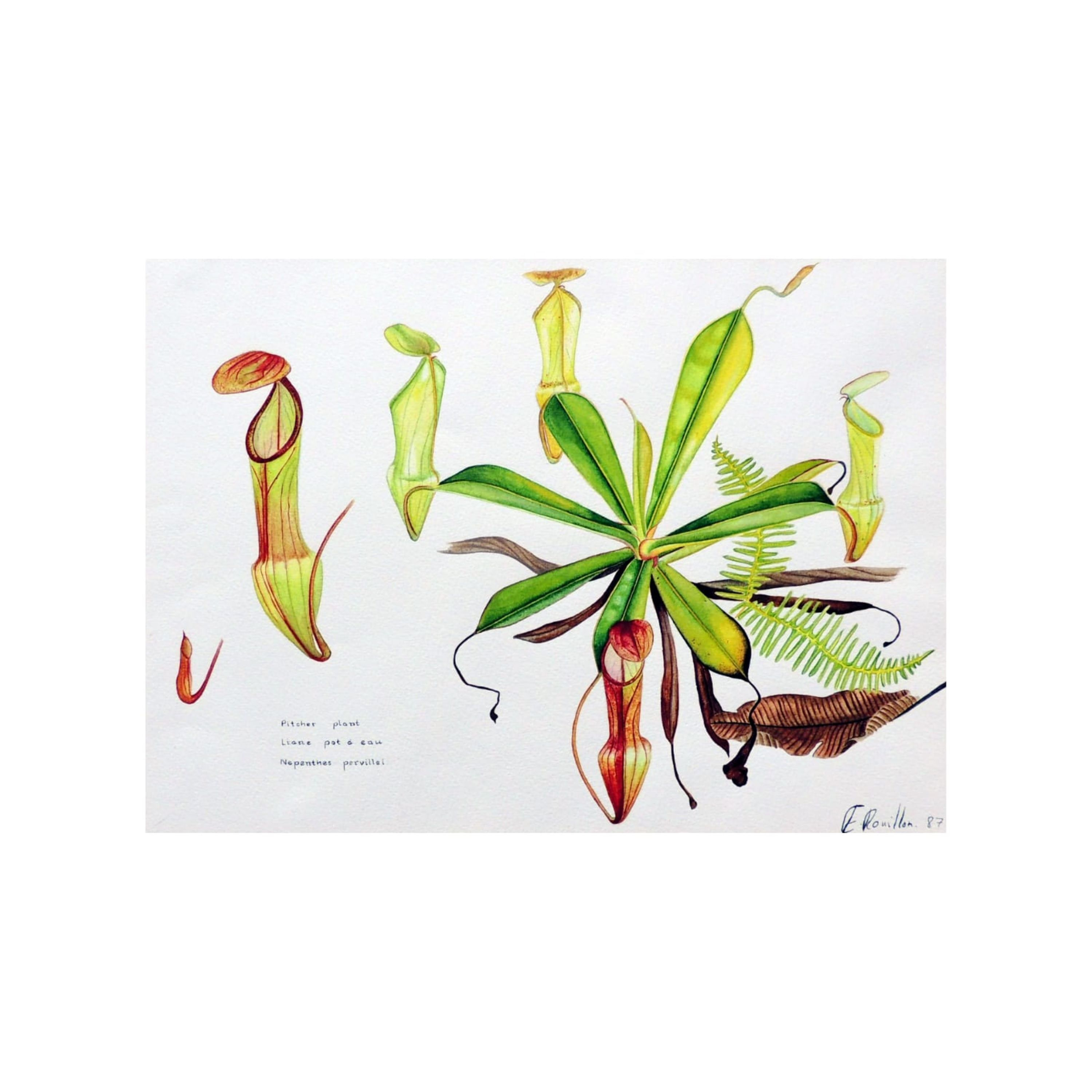 Pitcher Plant, Nepenthes Pervillei