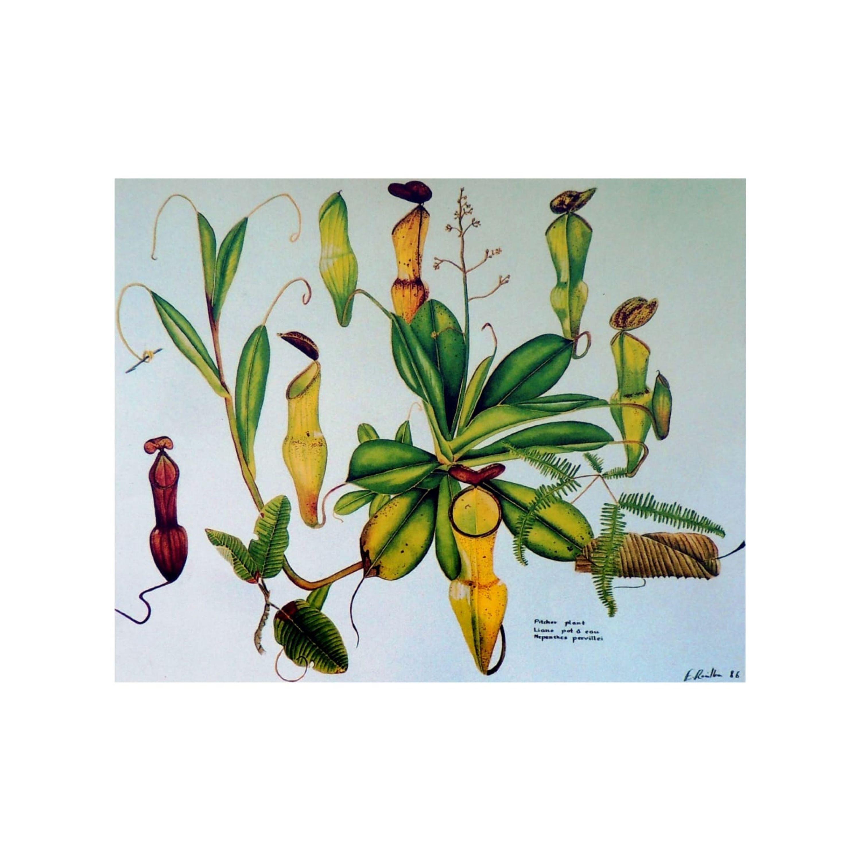 Pitcher Plant of Seychelles