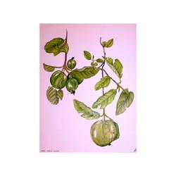 Gauva Fruit