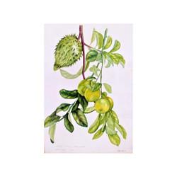 Corossol & Lemons