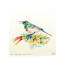 Double _ collared Sunbird