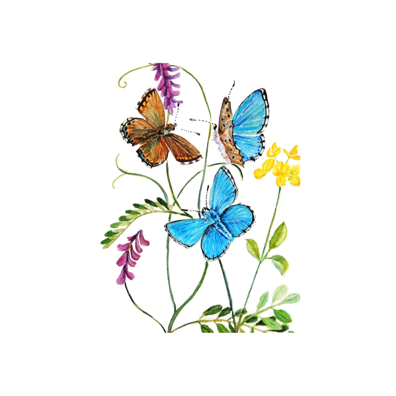 Blue Adonis Butterflies